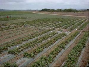 organic-strawberry-field-300x225