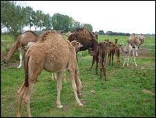 _46479449_camels3_226