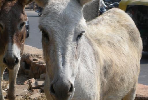 India_11_04_09_Donkeys